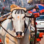 Heilige Kuh Indien